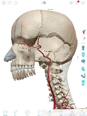 内頚動脈2.png