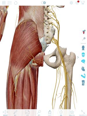 坐骨神経の拡大図