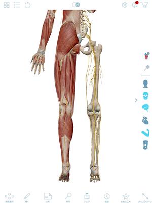 坐骨神経の全体図