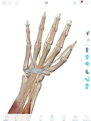 正中神経と腕の筋肉