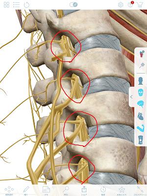 椎間孔と神経