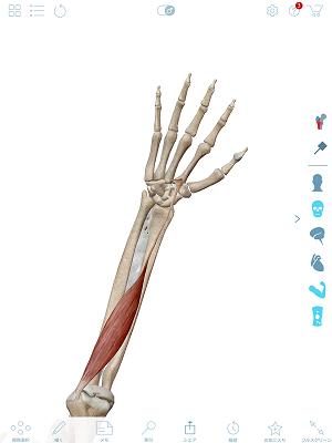 橈側手根屈筋