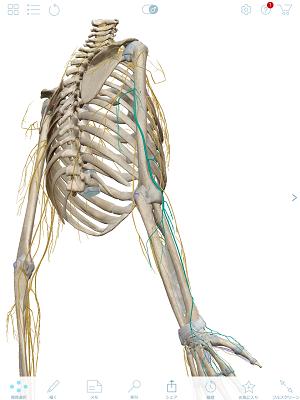 橈骨神経 青 後面.PNG