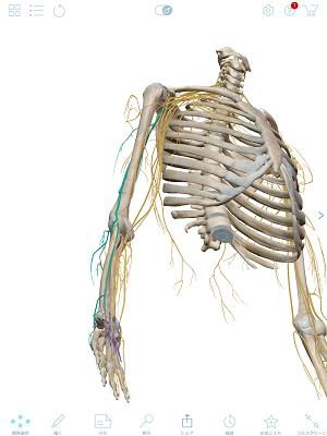 橈骨神経 青前面.PNG