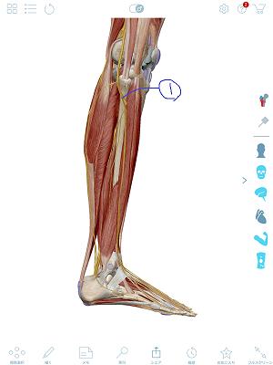 腓骨神経(筋肉なし)2.png
