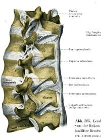 腰椎 靭帯2.png