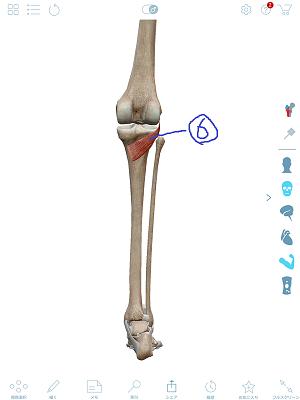 膝窩筋2.png