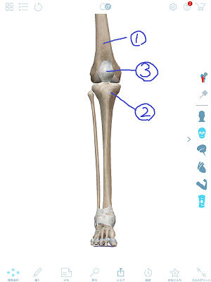 膝関節2.png