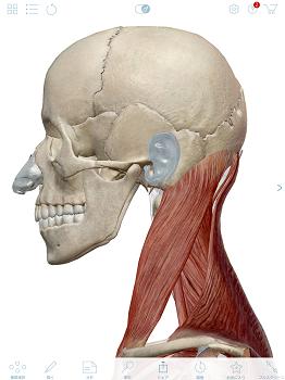 頸部の筋肉.PNG